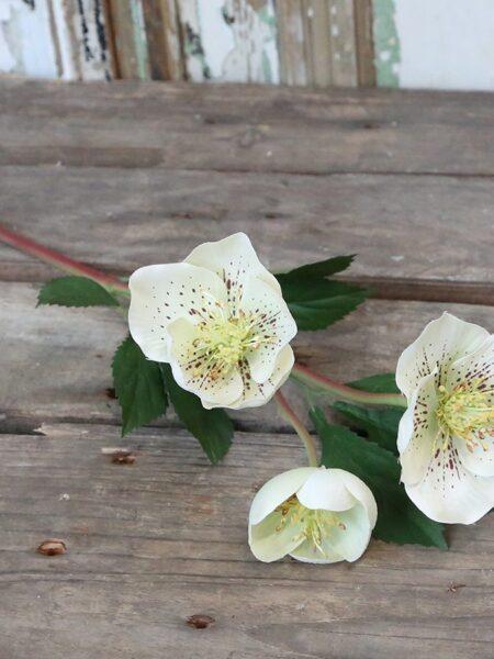 Fleur Julerose